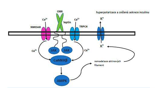 Signální dráha od receptoru pro leptin až po transport KATP kanálu na povrch buňky