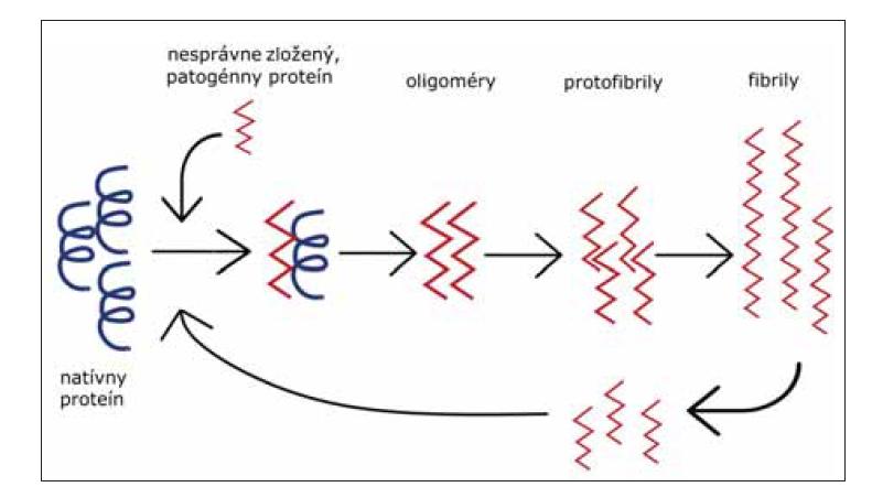 Templátom riadená zmena konformácie proteínu na patogénnu formu. Nesprávne zložený proteín (červený), zložený prevažne z beta-skladaných listov, naviazaním na natívny proteín (čierny) indukuje jeho konverziu na patogénnu formu. Vznikajú malé oligomérne formy, neskôr protofibrily, z ktorých vznikajú amyloidové fibrily – agregované formy patogénneho proteínu. Rozpadnutie fibríl na menšie častice vedie k amplifikácií konverzie.<br> Fig. 4. Template associated conformational change of protein to its pathogenic form. Misfolded protein (red), mostly consists of beta-sheets, binds to the native protein (black) and induces its conversion to a pathogenic form. Foremost, small oligomers are generated, and later protofibrils from which amyloid fibrils (aggregated forms of pathogenic protein) originate. Breakage of fibrils into smaller particles leads to the amplification of conversion.