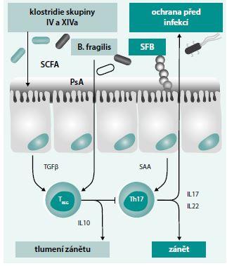 Schéma 2. Vliv mikrobů na polarizaci T-lymfocytů ve střevě