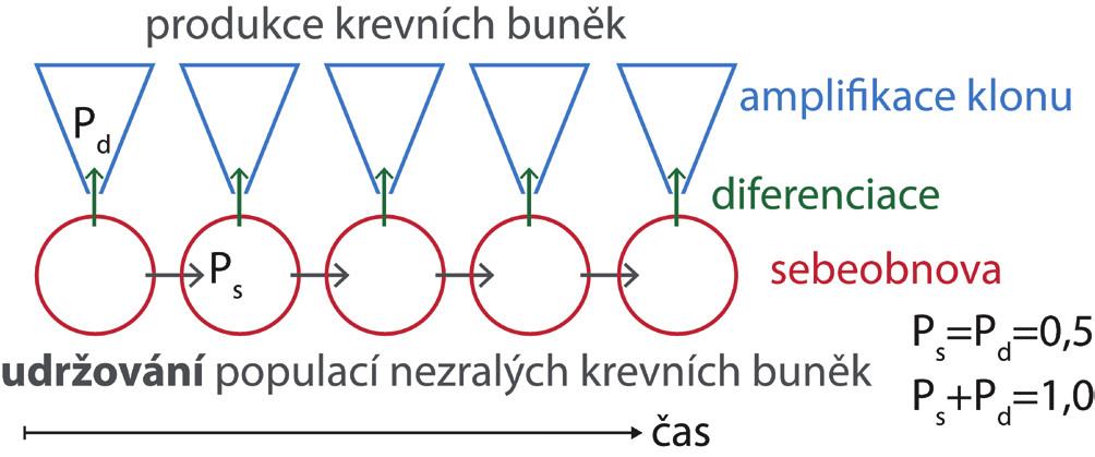 V nepoškozené kostní dřeni dospělého jedince je pravděpodobnost, že se kmenová buňka bude diferencovat (Pd), a pravděpodobnost, že po buněčném dělení zůstane buňkou kmenovou (Ps), stejná. Počet kmenových buněk zůstává konstantní a z diferencovaných buněk vznikají klony krevních buněk s omezenou dobou setrvání v krvi.