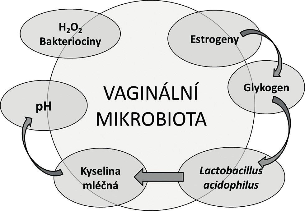 Tradiční koncept vaginální mikrobioty