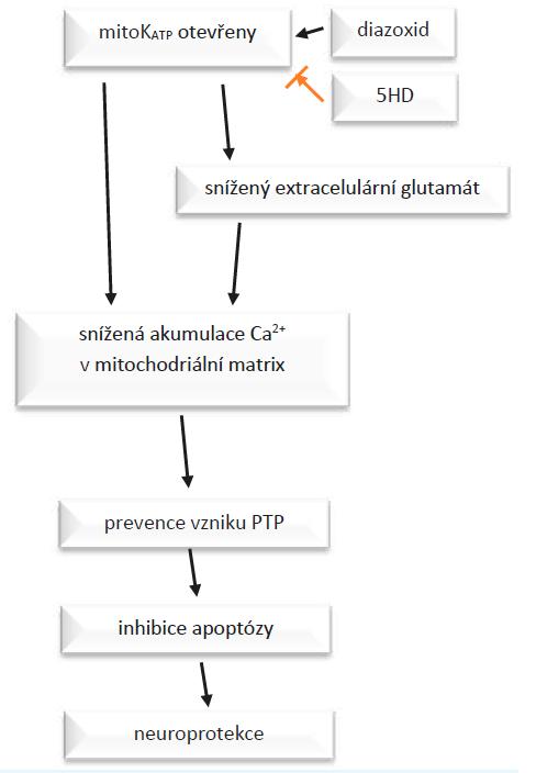 Působení diazoxidu a 5-hydroxydekanoátu (5-HD) na mito- KATP kanály.