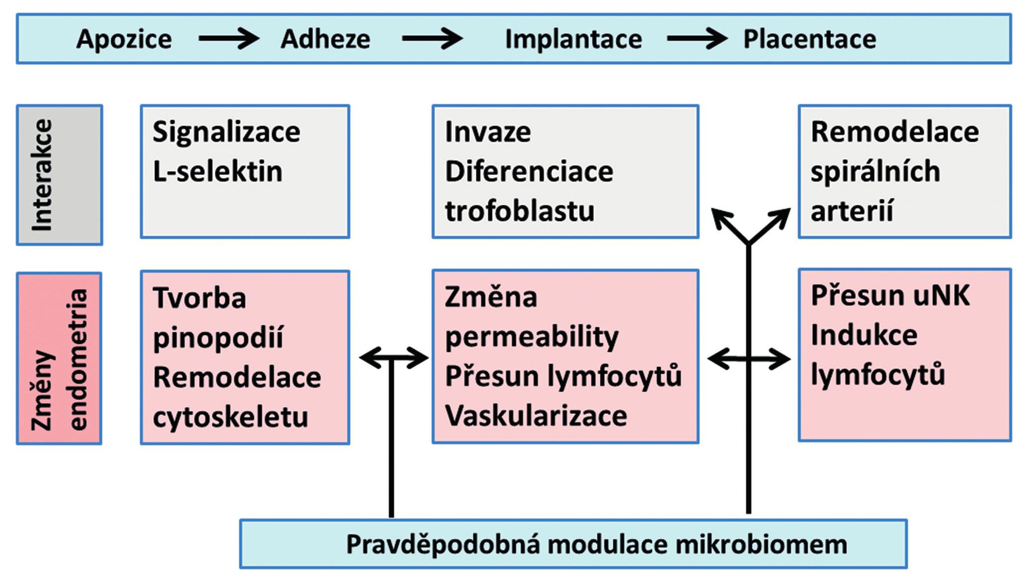 Schéma základních procesů, interakcí a změn probíhajících v endometriu od apozice blastocysty po placentaci a možný vliv endometriálního mikrobiomu (uNK = uterine natural killers)