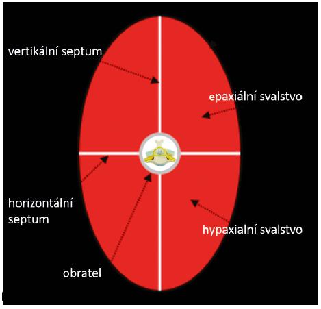 Schematické znázornění vývoje svalstva (upraveno podle Sadler TW. Langmanova lékařská embryologie. Praha: Grada Publishing, 2011)