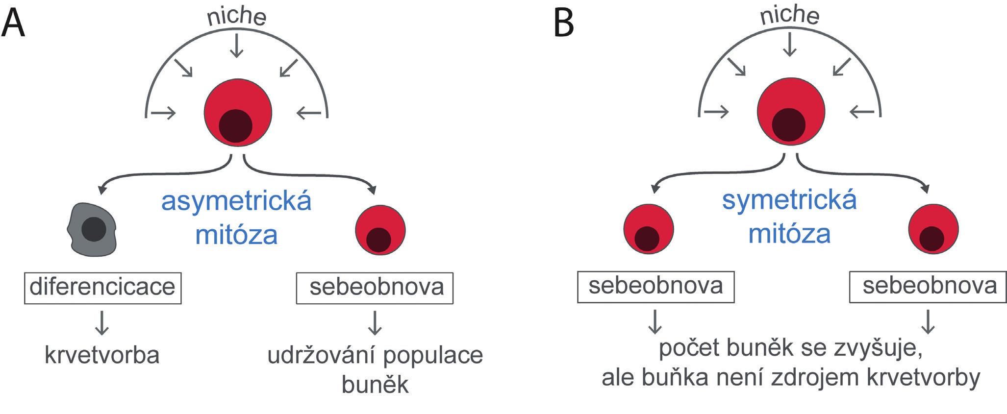 """Kmenové buňky udržují svůj počet, přestože se diferencují a dávají vznik progenitorům a buňkám krevním. Mechanismem, kterým toho lze dosáhnout, je asymetrická mitóza, kdy se jedna dceřiná buňka diferencuje a druhá dceřiná buňka zůstane ve stavu buňky kmenové (A). Zvýšení počtu kmenových buněk je možné jen symetrickou mitózou, kdy obě dceřiné buňky zůstanou buňkami kmenovými (B). Osud kmenových buněk a z nich vzniklých buněk dceřiných určují zevní vlivy působící na kmenovou buňku z bezprostředního buněčného a mezibuněčného prostředí, které se označuje jako """"niche""""."""