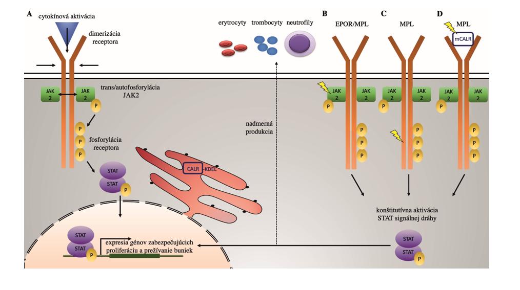 """Všeobecný mechanizmus JAK2 signálnej dráhy za fyziologických podmienok (A): po väzbe cytokínu k receptoru dochádza k jeho dimerizácii, následnej trans- a autofosforylácii JAK2 kinázy, ktorá ďalej fosforyluje tyrozínové zvyšky receptora. Tie poskytujú väzbové miesta pre STAT signálne molekuly, ktoré dimerizujú a vo fosforylovanej forme sa presúvajú do jadra, kde pôsobia ako transkripčné faktory génov zabezpečujúcich proliferáciu a prežívanie buniek. Patofyziologická JAK2 signalizácia v prípade JAK2 mutácií (B) a mutácií MPL receptora (C) vedie ku konformačným zmenám JAK2 alebo MPL receptora, následnej konštitutívnej aktivácii JAK2/STAT signálnej dráhy a nadmernej produkcii rôznych krvných elementov. Naopak, sekretovaný mutovaný CALR (mCALR) sa ako """"falošný"""" cytokín viaže na MPL (D), aktivuje ho, čo u buniek exprimujúcich MPL a súčasne mCALR  vedie k trvalej aktivácii JAK2/STAT5 signalizácie. Pozn.: P – fosforylácia, symbol blesku – mutácia."""