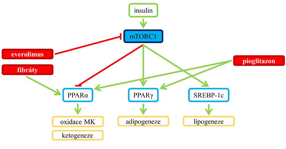 Aktivace mTORC1 a její dopad na PPARα a PPARγ