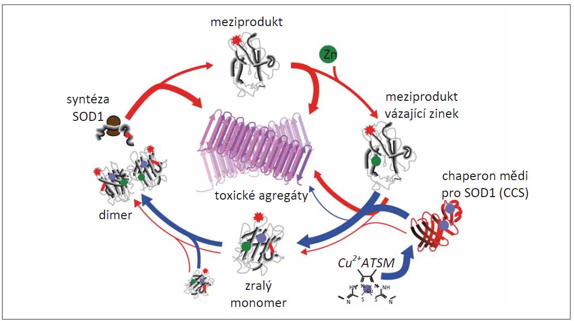 Model zásahu CuATSM do patologie mutantní SOD1 [54].<br> Červené šipky znázorňují chybné skládání SOD1 a jejich následnou agregaci během syntézy enzymu, zatímco modré šipky ukazují, jak CuATSM dokáže tento proces ovlivnit. Tloušťka šipky koreluje s pravděpodobností znázorněného děje. Během syntézy se nejprve vytvoří meziprodukt (červená hvězda), který je připravený k navázání zinku. Poté dochází k asociaci s mědí pomocí CCS. Spojením s mědí dochází k vytvoření zralých monomerů, které se potom spojují v dimery tvořící funkční plnohodnotný enzym. Výsledkem CuATSM je větší množství mědi doručené k CCS, což vede k většímu přenosu mědi na SOD1, a tedy ke snížení množství SOD1, která by se v této fázi syntézy počala chybně skládat a agregovat.<br> CCS – chaperon mědi pro SOD1; SOD1 – superoxiddismutáza 1<br> Fig. 5. Model of CuATSM rescue of mutant SOD1 pathology [54].<br> Red arrows show the folding and off-folding pathways for SOD1, whereas blue arrows show the contribution of CuATSM to these pathways. The arrow thickness suggests the probability of the pathways occurring. Following synthesis, mutant SOD1 (red star) folds into an intermediate state that is primed for Zn binding. Zn-bound SOD1 associates with Cu-loaded CCS for transfer of Cu leading to the formation of a mature SOD1 monomer that can form dimers forming a functional full-fl edged enzyme. CuATSM results in a larger pool of Cu-bound CCS, which in turn results in greater transfer of Cu to SOD1, reducing the amount of SOD1 that enters an off-folding pathway at this point.<br> CCS – copper chaperone for SOD1; SOD1 – superoxide dismutase 1