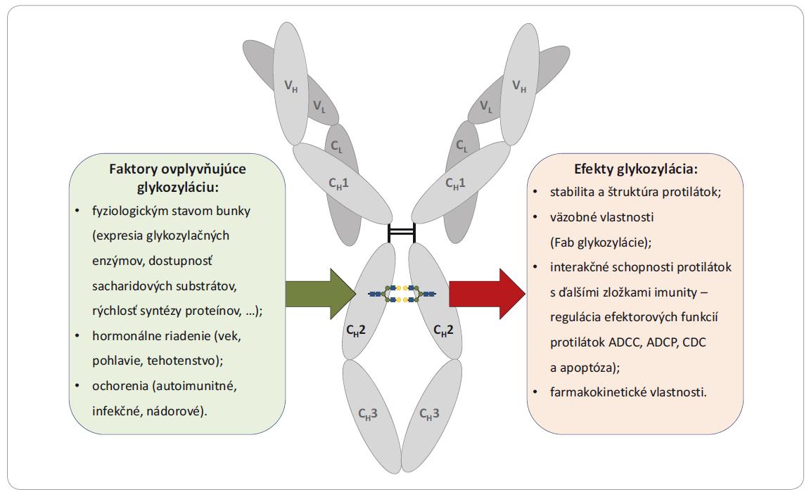 Faktory ovplyvňujúce glykozyláciu protilátok a efekty týchto glykozylácií na štruktúru a funkciu protilátok.
