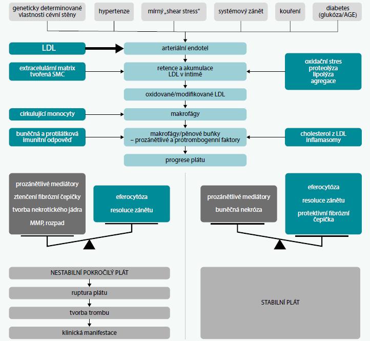 Schéma | Úloha LDL v patogenezi aterosklerózy. Upraveno podle [1]