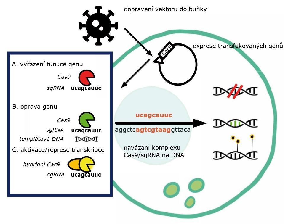 Schéma 1. Schéma mechanizmů editace genomu metodou CRISPR-Cas9.