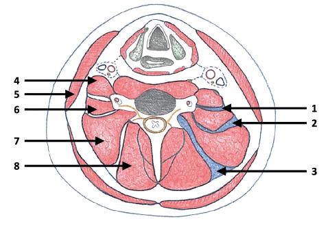 Schematický řez střední částí krku