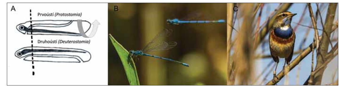 (A) Schéma somatického twistu u druhoústých (Deuterostomia), čímž dochází k překřížení drah o 180°. (B) Příklad prvoústého živočicha: šidélko páskované (Coenagrion puella). (C) Příklad druhoústého živočicha: slavík modráček středoevropský (Luscinia svecica). Obě fotografie a kresba: Antonín Cettl.<br> Fig. 3. (A) The scheme of the somatic twist in Deuterostomia, generating a 180º crossing of the nerve tracts. (B) An example of Protostomia: azure damselfly (Coenagrion puella). (C) An example of Deuterostomia: nightingale bluethroat (Luscinia svecica). Both photos and drawing: Antonín Cettl.