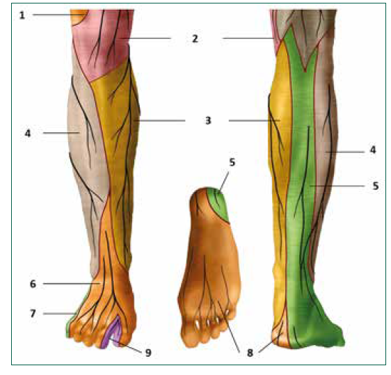 Kožní zóny nervů na bérci. 1. n. cutaneus femoris lateralis, 2. n. cutaneus femoris anteriores, 3. n. saphenus, 4. n. cutaneus surae lateralis, 5. suralis, 6. n. peroneus superficialis, 7 n. suralis rr. calacnei lat., 8. n. tibialis, 9. n. peroneus profundus [6]