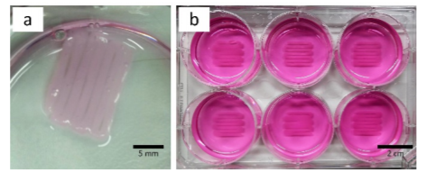 Printed meandering structure detached from surface without PEI and laminin coating (a, culture medium was removed) and same structure on coated surface to guarantee tissue adhesion (b, culture medium present).
