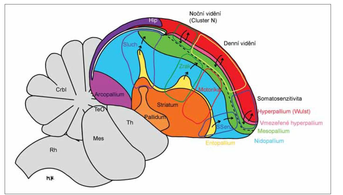 Schéma ptačího mozku s barevně vyznačenými částmi hemisféry a s barevně ohraničenými funkčními oblastmi jdoucími napříč částmi hemisféry. Podle [25], nakreslila Monika Němcová.<br> Na dorzálním povrchu hemisféry je červený vrstevnatý Wulst (hyperpallium), do kterého projikuje lemniskální systém a zraková dráha. Eferenty z něj míří do kmene a míchy. Vzadu za ním je fialový archicortex. Další části ptačího mozku už nejsou vrstevnaté. Pod Wulstem je zelené mezopallium rozdělené přerušovanou čarou na dorzální mezopallium, obousměrně propojené s Wulstem, a ventrální mezopallium, které dostává senzorické informace z entopallia (žlutě) a po zpracování je posílá do nidopallia (modře) a arcopallia (světle fialově). Kaudomediální část arcopallia odpovídá amygdale a přední část senzorimotorické oblasti neokortexu. Entopallium vybíhá směrem do nidopallia (vmezeřené nidopallium) a má vpředu senzitivní nucleus basorostralis pallii, uprostřed zrakovou oblast a vzadu sluchové pole L. Mezopallium, nidopallium a entopallium se dohromady nazývají dorsal ventricular ridge (zadní komorový hřeben). V hloubce hemisféry jsou bazální ganglia (oranžově striatum a světle oranžově pallidum). Šedě je mozkový kmen a mozeček. Primární senzitivní neurony ptačího mozku sedí v entopalliu (žlutě), v nidopalliu (modře) a ve vmezeřeném hyperpalliu (růžově), kde jsou zrakové a somatosenzitivní oblasti. Hlavním korovým eferentem jsou neurony arcopallia. Napříč popsanými oblastmi ptačího mozku prostupují funkční sloupce barevně ohraničené: modře senzitivita, červeně motorika, zeleně zrak, fialově sluch; ve Wulstu jsou to zezadu dopředu sloupce pro noční vidění (ohraničený zeleně), denní vidění (žlutě) a somatosenzitivitu (modře).<br> Crbl – mozeček; Hip – archicortex; Mes – mesencephalon; Rh – rhombencephalon; SSenz – somatosenzitivita; TeO – tectum opticum; Th – thalamus<br> Fig 6. The diagram of the brain of the bird with color coded parts of the hemisphere and color bordered functional areas dividing t