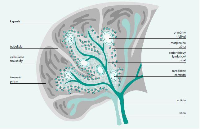 Obr. Rozmiestnenie B-lymfocytov a T-lymfocytov v slezine. T-lymfocyty obklopujú malé cievky – arterioly a vytvárajú okolo nich manžetu. B-lymfocyty sú v ich tesnom susedstve, vo folikuloch. Aj periarteriolové lymfoidné tkanivovo aj folikuly obklopuje pás, ktorý označujeme ako marginálnu zónu