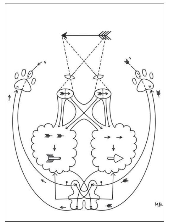Schéma vysvětlující částečné křížení zrakové dráhy u binokulárně viděného předmětu, jeho prostorovou syntézu v mozku a křížení motorické dráhy (M) v oblongatě a anterolaterálního nociceptivního sytému (S) segmentálně v míše, zajišťující opět správnou prostorovou determinaci viděného předmětu. Nakreslila Monika Němcová.<br> Fig. 2. The diagram explaining the partial crossing of the visual tract in case of a binocularly seen object, its spatial synthesis in the brain and crossing of the motor tract (M) in the medulla oblongata and of the anterolateral anociceptive system (S) segmentally in the spinal cord, again providing the correct spatial determination of the seen object. Drawn by Monika Němcová.