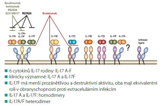 Obr. 3. Biologie a mechanismus účinku IL-17 inhibitorů<br> Podle Patel DD et al. Ann Rheum Dis 2013; 72: iii116–123
