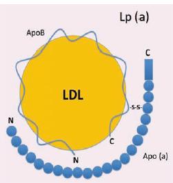 Struktura Lp (a) částice.<br> Lp (a) – lipoprotein (a); apo (a) – apolipoprotein (a); apoB-100 – apolipoprotein B-100, LDL – lipoprotein s nízkou hustotou