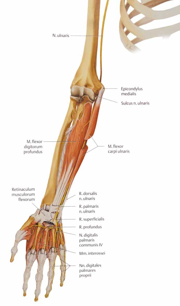 Anatomické poměry n. ulnaris na předkloktí a v dlani.<br> Fig. 7. Anatomic conditions of the ulnar nerve on the forearm and on the hand.