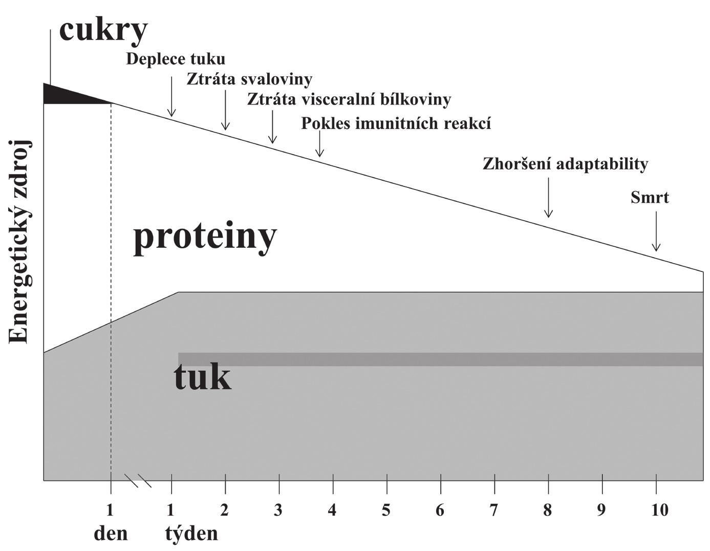 Průběh adaptačního, metabolicky nestresového hladovění bez léčby [1].