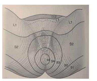Dermatomy perineální oblasti.<br> Fig. 3. Dermatomes of the perineal region.