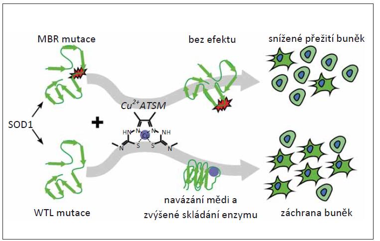 CuATSM chrání před in vitro cytotoxicitou mutant WTL superoxiddismutázy mědi a zinku, ale nikoli mutantů, které narušují vazbu kovů [54].<br> MBR – metal-binding region; SOD1 – superoxiddismutáza 1; WTL – wild-type like<br> Fig. 4. CuATSM protects against the in vitro cytotoxicity of WTL copper-zinc superoxide dismutase mutants but not mutants that disrupt metal binding [54].<br> MBR – metal-binding region; SOD1 – superoxide dismutase 1; WTL – wild-type like