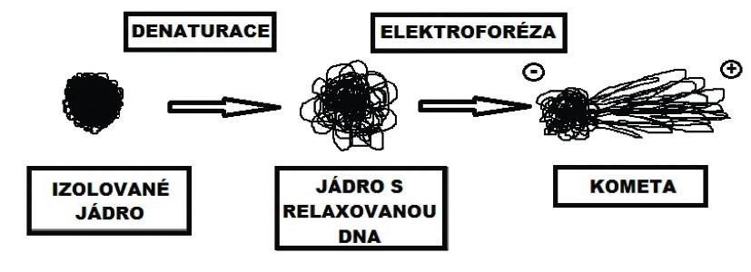 Změny v organizaci DNA po denaturaci (alkalické rozplétání) a po elektroforéze