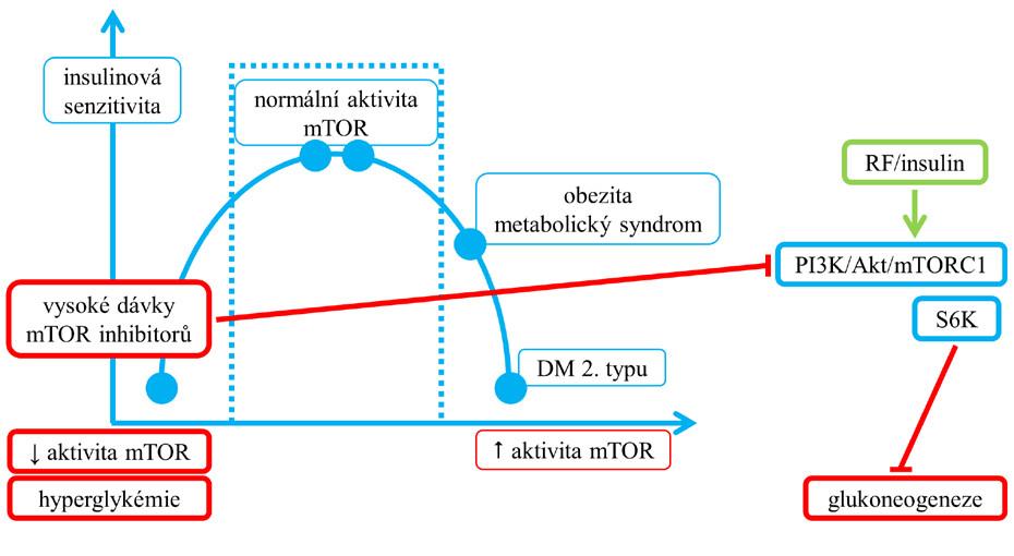 Vztah příliš nízké aktivity mTORC1 a hyperglykemie v důsledku terapie inhibitory mTOR. Vysoké dávky mTOR inhibitorů v jaterních buňkách potencují blokádou intracelulární dráhy PI3K/Akt/mTORC1 glukoneogenezi (2).