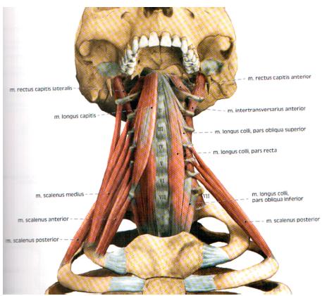 Počátky vertebrálních svalů. Sekvestrované počátky svalstva na obratlových tělech a výběžcích umožňující průběh nervů do patřičných fasciálních prostorů (publikováno s laskavým svolením vydavatelství Grada Publishing).