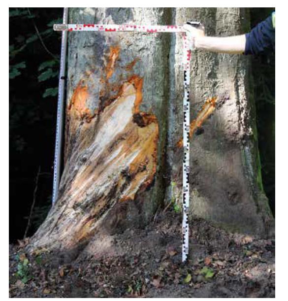 Stopy po kontaktu s vozidlem č. 1 zanechané na stromě.<br> Fig. 3. Marks left on a tree after contact with vehicle no. 1.