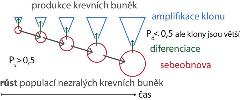 V expandující krvetvorné tkáni, v embryu – fetálních játrech – postnatální kostní dřeni – v regenerující poškozené kostní dřeni, se zvyšuje počet nezralých buněk. To předpokládá, že více než polovina buněk vzniklých rozdělením zůstane stejná jako buňka, která se rozdělila. Pravděpodobnost sebeobnovy buněčným dělením (Ps) je > 0,5. Pravděpodobnost diferenciace těchto buněk vznikající dělením (Pd) je proto < 0,5. Z buňky, která se diferencovala, však může vzniknout větší klon krevních buněk, pokud prodělá během pokračující diferenciace a zrání více amplifikačních dělení. Souběžně se pak může zvyšovat jak počet nezralých buněk, tak i počet produkovaných zralých krevních buněk.