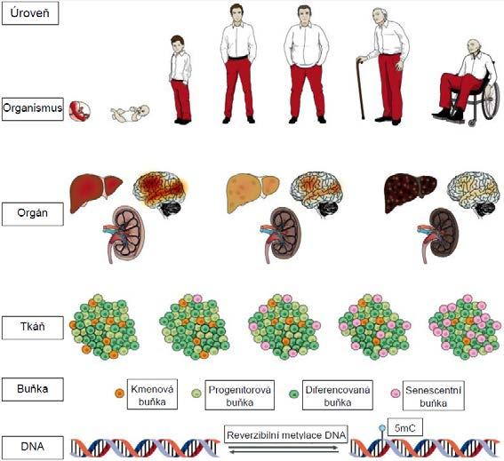 Projevy stárnutí na úrovni molekulární, buněčné i celého organismu. Na obrázku je znázorněno zejména hromadění senescentních buněk ve tkáních, vyčerpání kmenových buněk, vyhasínání mozkových funkcí, narůstající poškození jater a ledvin a také epigenetické změny provázející stárnutí (upraveno dle: 2).<br> Pozn.: 5mC = 5-metylcytosin