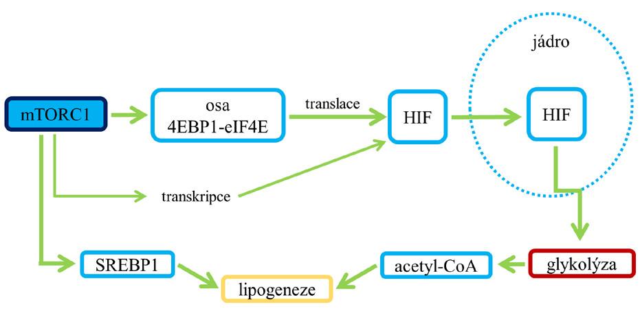 Dopad aktivace mTORC1 na glykolýzu (9)