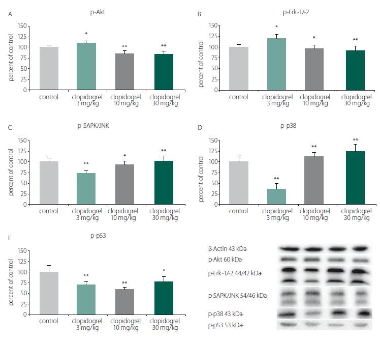 Cell death and survival pathways. (A) p-Akt, (B) p-Erk-1/-2, (C) p-SAPK/JNK, (D) p-p38, (E) p-p53. Western blot analysis showed that clopidogrel (3, 10 and 30 mg/kg) dose-dependently altered the JNK, p-38 levels, AKT, ERK and p53 levels. The values are given as mean ± SD. *P < 0.05; **P < 0.01 compared with vehicle-treated control group AKT – serine/threonine protein kinase B; ERK – extracellular signal–regulated kinases; JNK – c-Jun N-terminal kinases<br> Obr. 3. Mechanizmy odumírání a přežití buněk. (A) p-Akt, (B) p-Erk-1/-2, (C) p-SAPK/JNK, (D) p-p38, (E) p-p53. Analýza western blot prokázala, že klopidogrel (3, 10 a 30 mg/kg) měnil dávkově dependentním způsobem hladiny JNK, p-38, AKT, ERK a p53. Hodnoty jsou uvedeny jako průměr ± SD. *p < 0,05; **p < 0,01 v porovnání s kontrolní skupinou, které bylo podáváno vehikulum AKT – serin/treonin proteinkináza B; ERK – kináza regulovaná extracelulárním signálem; JNK – c-Jun N-terminální kináza