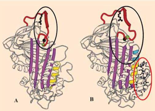 A - nativní molekula antitrombinu s vyznačeným místem pro vazbu trombinu. B – konformační změna molekuly antitrombinu po navázání heparinové (pentasacharidové) sekvence – takto je usnadněna vazba AT k trombinu. </br> A – native antithrombin molecule with reactive site in the ellipse. B – conformational change in the antithrombin molecule with the heparin (pentasacharide) bond – the thrombin linkage to AT is therefore easy to reach.