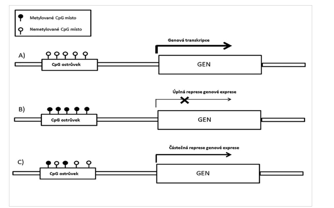 Ovlivnění exprese prostřednictvím metylace CpG ostrůvků.