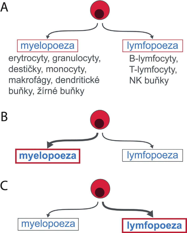 Myelodní-lymfoidní krvetvorné kmenové buňky nejsou homogenní populací. Některé mají potenciál pro tvorbu myeloidních a lymfoidních buněk stejný (A), jiné více podporují myelopoezu (B), jiné lymfopoezu (C).