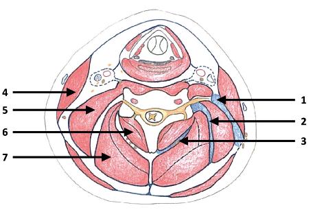 Schematický řez horní částí krku