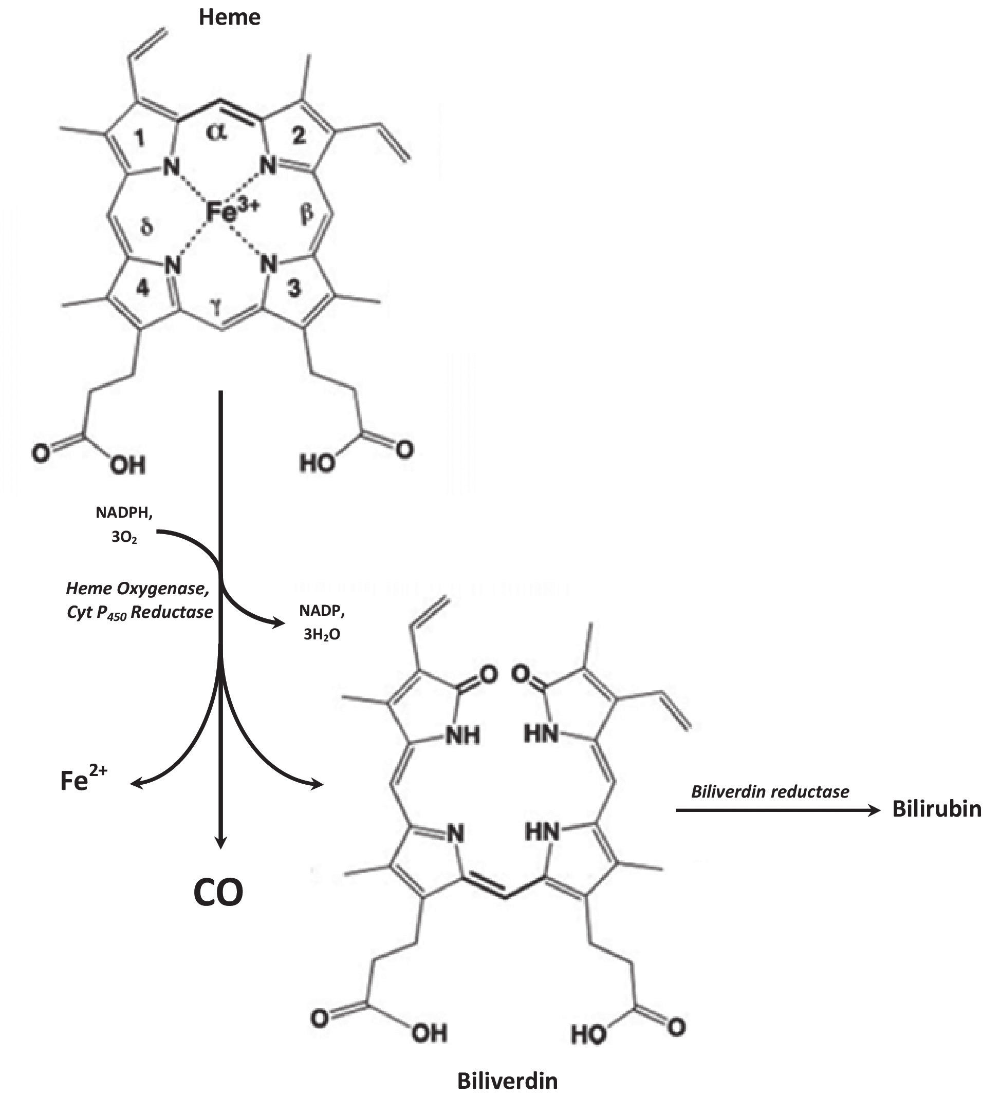 Heme degradation pathway: Heme oxygenase catalyzes rate limiting step of heme degradation. Oxidative degradation of heme molecule generates equimolar amount of CO, ferrous ion (Fe2+) and biliverdin. Biliverdin is subsequently reduced by biliverdin reductase to bilirubin. The reaction requires 3 molecules of O2 and NADPH:cytochrome P-450 reductase serves as a source of electrons.