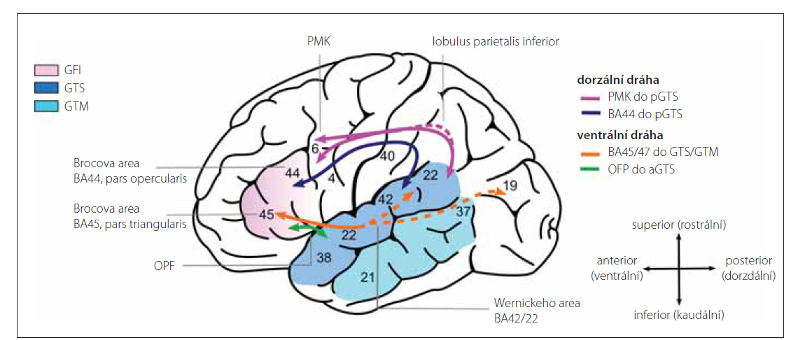 Jazykový konektom (upraveno se souhlasem A. Friederici).