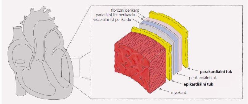 Anatomické souvislosti. Schéma zobrazuje řez srdeční komorou od myokardu (nejvíce vlevo) po parakardiální tukovou tkáň (nejvíce vpravo). Obrázek byl vytvořen s využitím Servier Medical Art.