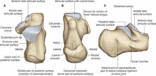 Anatomie patní kosti. (Převzato z Gray's anatomy for students, 2<sup>nd</sup> Edition, Copyright 2009©Churchill Livingstone, ISBN 9781437720556)