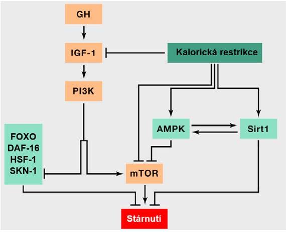 Zjednodušená dráha IIS a její propojení a interakce s dalšími drahami a konkrétními molekulami regulujícími energetický metabolismus buňky.<br> Šipka odpovídá aktivaci jednotlivých komponent a naopak inhibice je naznačena kolmou příčkou (přepažením). Oranžově podbarvené komponenty přispívají ke stárnutí, zatímco světle zeleně podbarvené komponenty mají pozitivní efekt na dlouhověkost. V obrázku je také znázorněna intervence v podobě kalorické restrikce, jíž je možné docílit prodloužení života. Obrázek rovněž pěkně vystihuje skutečnost, že anabolické signální kaskády urychlují stárnutí, zatímco jejich inhibice a katabolické procesy do určité míry prodlužují délku života. Dráhy IIS a TOR totiž figurují v anabolických reakcích na nadbytek živin, zatímco AMPK a sirtuiny reagují na nedostatek živin a figurují v katabolických reakcích. IIS reaguje na zvýšené množství glukózy indikující nadbytek živin a mTOR vnímá nadbytek energie dle vyšší hladiny aminokyselin. Sirtuiny naopak vnímají stav nedostatku energie detekcí zvýšené hladiny NAD+ a AMPK reaguje na vyšší hladiny AMP indikující rovněž katabolické děje (upraveno dle: 9).