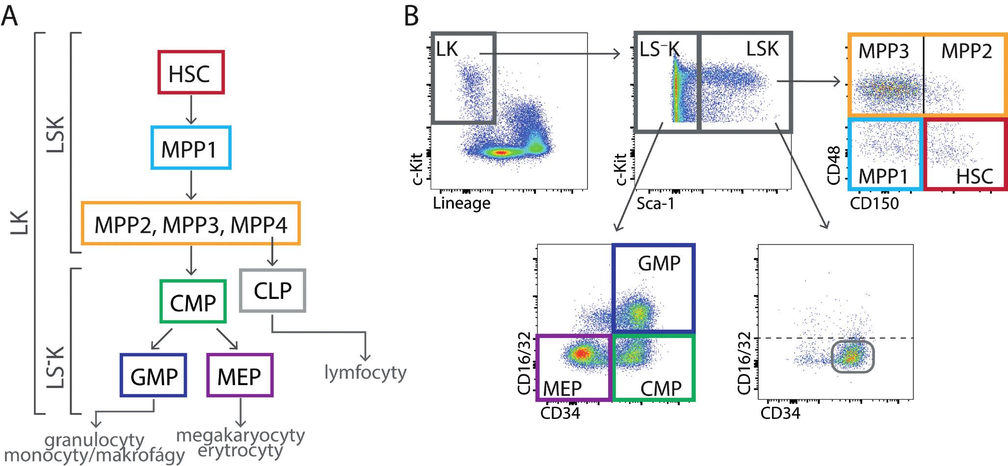 (A) Kmenové buňky (HSC), multipotentní progenitory (MPP) a myeloidní progenitory (CMP, GMP a MEP) tvoří vývojovou hierarchii stále více diferencovaných buněk se stále menším spektrem krevních buněk, kterým mohou dát vzniknout. (B) Nezralé buňky v kostní dřeni myší nemají liniové znaky (L) a exprimují receptor c-Kit (K; LK buňky). Dělí se na méně zralé buňky LSK a zralejší buňky LS– K pomocí znaku Sca-1 (Stem cell antigen-1). Buňky LSK lze rozlišit pomocí znaků CD150, CD48 a CD135 na buňky kmenové (HSC) a čtyři druhy multipotentních progenitorů (MPP1, MPP2, MPP3 a MPP4). MPP4 mají výrazně lymfoidní vývojový potenciál. Na obrázku není jejich určení pomocí znaku CD135 (Flt3) ukázáno. Rozdělení LSK buněk podle znaků CD34 a CD16/32 není běžně používáno, je zde jen uvedeno pro porovnání s buňkami LS– K. Buňky LS– K obsahují progenitory myeloidních buněk, které lze rozlišit pomocí znaků CD34 a CD16/32 na CMP – společný (common) progenitor myeloidních buněk, GMP – progenitor granulocytů a makrofágu a MEP – progenitor megakaryocytů a erytroidních buněk. Buňky LSK mají v normální tkáni CD34/CD16-32 fenotyp stejný jako buňky CMP.