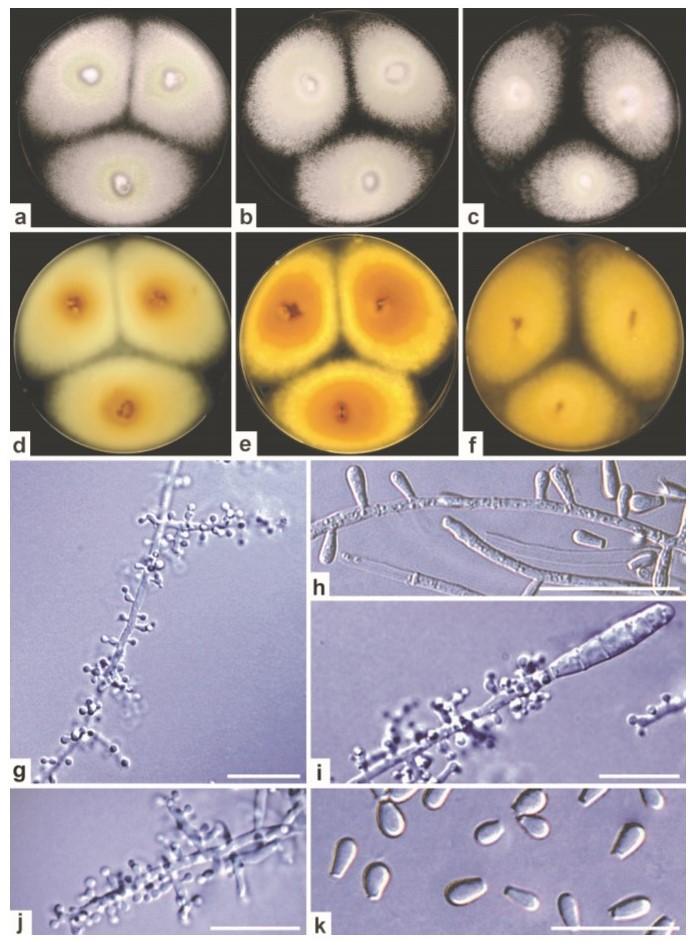 Morfologie zoofilního druhu Trichophyton erinacei