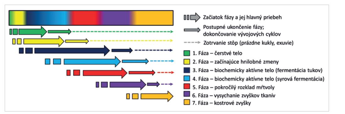 Schematické znázornenie priebehu sukcesných vĺn pri voľnej expozícii tela (2).
