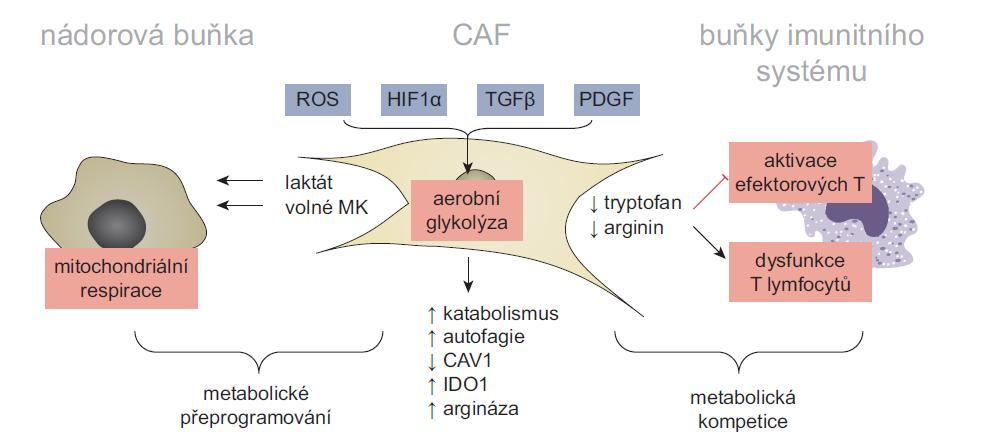 Model metabolické symbiózy a konkurence v nádorovém mikroprostředí. Aktivace CAF a udržení jejich sekrečního fenotypu je energeticky náročné a vyžaduje metabolické změny. U některých typů CAF proto dochází k aktivaci aerobní glykolýzy. Zvýšená závislost CAF na aerobní glykolýze může být vyvolána mnoha faktory – sníženou dostupností kyslíku v rostoucích nádorech, stabilizací faktoru HIF1α, aktivitou signálních drah TGFβ a PDGF nebo ztrátou exprese CAV1, zprostředkovanou reaktivními kyslíkovými radikály. Zvýšená produkce laktátu, mastných kyselin a ketolátek podporuje mitochondriální respiraci nádorových buněk. Zatímco metabolická symbióza mezi CAF a nádorovými buňkami stimuluje růst a maligní fenotyp nádorových buněk, jejím vedlejším efektem je snížení dostupnosti klíčových metabolitů pro jiné složky TME. Tato metabolická konkurence následně narušuje funkčnost protinádorové imunity. Například zvýšená exprese indolamin 2,3-dioxygenázy 1 a argináz (ARG1 a ARG2) v CAF radikálně snižuje dostupnost tryptofanu a argininu v TME, čímž inhibuje proliferaci a aktivaci efektorových T lymfocytů. Volně přepracováno dle [7].