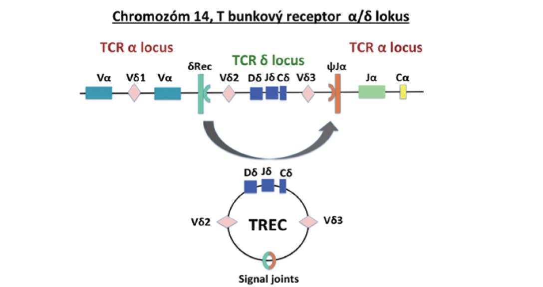 TREC vznikajú počas procesu V(D)J rekombinácie génu pre alfa reťazec T bunkového receptora (upravené podľa Somech & Etzioni, 2014).<br> Fig. 1. TRECs are formed during the V(D)J recombination process of the T cell receptor alpha chain gene (adjusted from Somech & Etzioni, 2014).